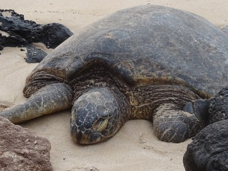 Turtle, Meeresbewohner, Animal, Sea Animals, Tropical