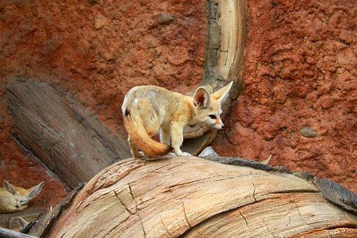 Animal, Desert Fox, Seoul National University Park, Zoo