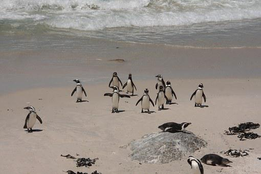 Penguins, Bolders Beach, Beach