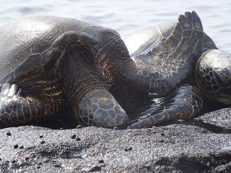 Turtle, Sea, Sea Turtle, Ocean, Coast, Big Iceland