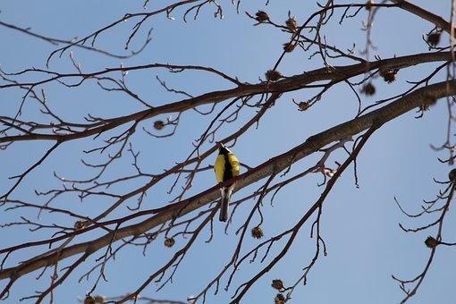 Yellow-bellied Siskin, Bird, Black And Yellow, Branch