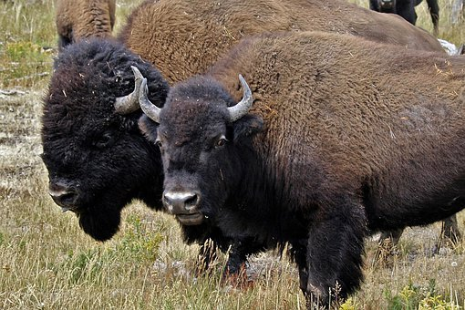 Bison, Head, Animal, Nature, Wildlife, Buffalo, Bull