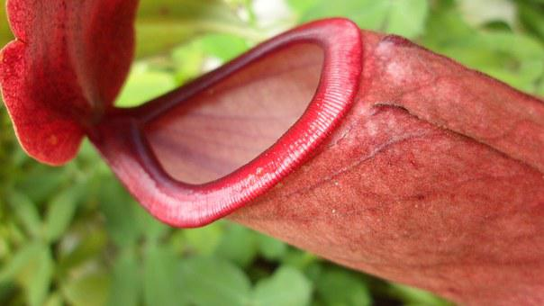 Carnivorous Plant, Plants, Red, Exotic, Nature