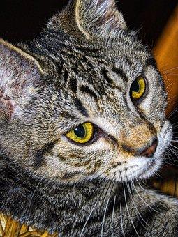 Tabby, Striped, Cat, Pet, Animal, Feline, Face