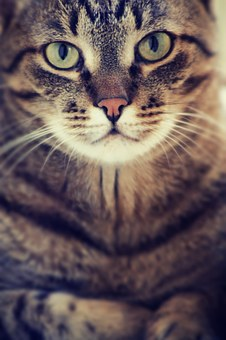 Cat, Kitten, Pets, Domestic Cat, Animal, Cute, Tabby