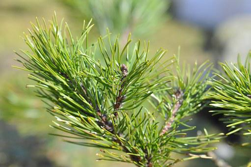 Dwarf Pine, Siberian Dwarf Pine, Conifer, Pine Green