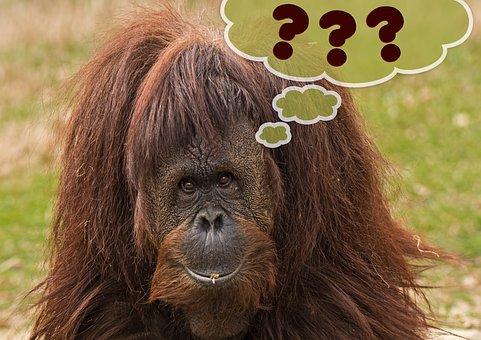Primate, Monkey, Orang Utan, Expression, Question Mark