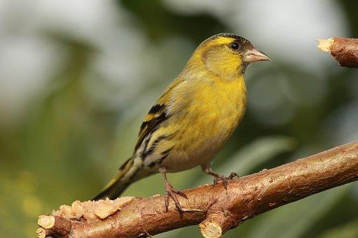 Bird, Feathers, Green, Yellow, Black, Beak, Siskin