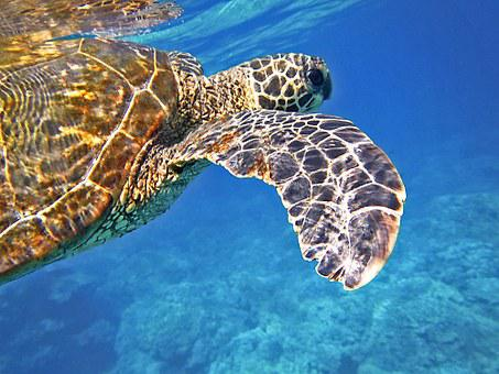 Sea Turtle, Green Sea Turtle, Giant Sea Turtle, Turtle