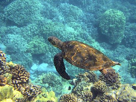 Sea Turtle, Hawaiian Sea Turtle, Green Sea Turtle
