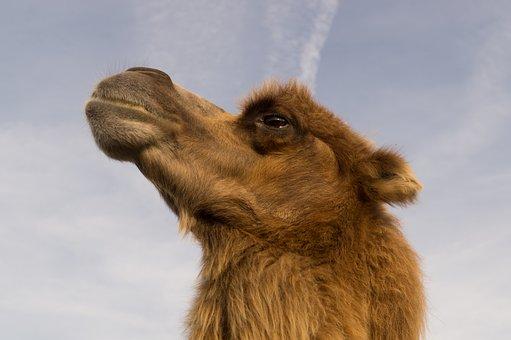 Camel, Animal, Circus, Wild, Africa, Sand, Dune, Heat