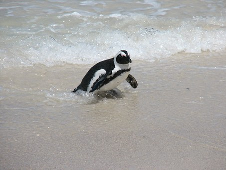 Penguin, Nature, Wildlife, Ocean, South Africa, Sand