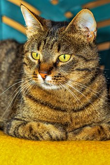 Cat, Idle Cat, Pets, Rest, Kitten, Feline, Tabby, Calm