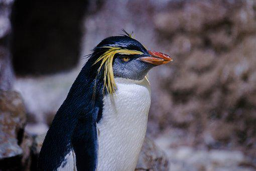 Penguin, Bird, Rockhopper Penguin, Animal, Birds, Zoo