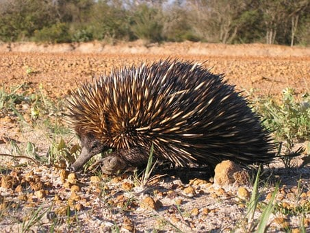 Aculeatus, Tachyglossus, Anteater, Spiny, Echidna