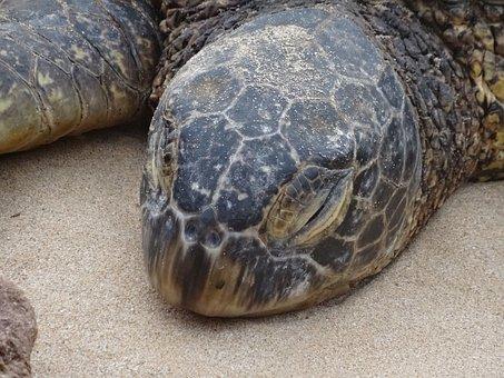 Tired, Sea Turtle, Animal, Honu, Big Iceland, Hawaii