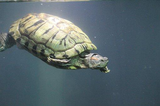 Tortoise, Turtle, Water, Aquarium, Deep, Underwater