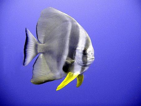 Bat Fish, Fish, Tropical, Exotic, Diving, Underwater