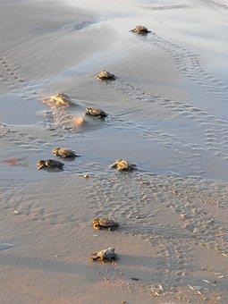 Sea Turtles, Turtles, Water, Ocean, Sea, Turtle