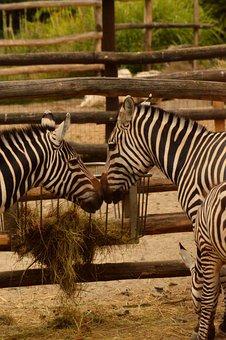 Zebra, A Couple Of, Endearment