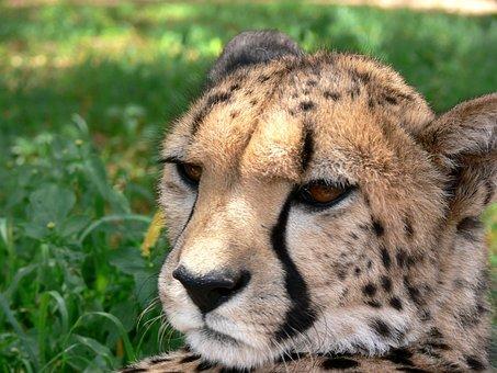 Cheetah, Acinonyx Jubatus, Wildlife, Mammal, African