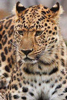 Animal, Big, Carnivore, Cat, Dangerous, Feline, Hunter