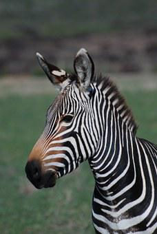 Zebra, Africa, Wild, Animal, Nature, Safari, Mammal