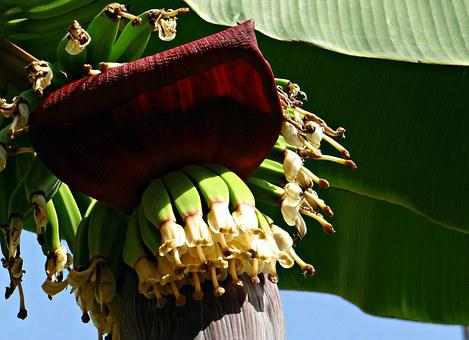 Banana, Bunch, Flowers, Blossoms, Baby Banana, Plantain