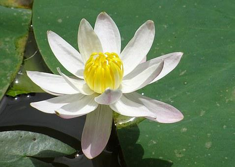 Lily, Flower, Waterlily, Water Lily, Banana Lily, White