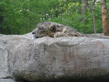 Snow, Leopard, Big, Cat, Carnivore, Panthera, Predator