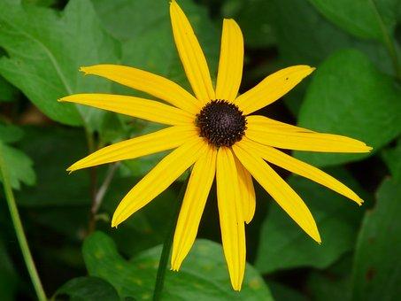 Ordinary Sonnenhut, Flower, Blossom, Bloom, Plant