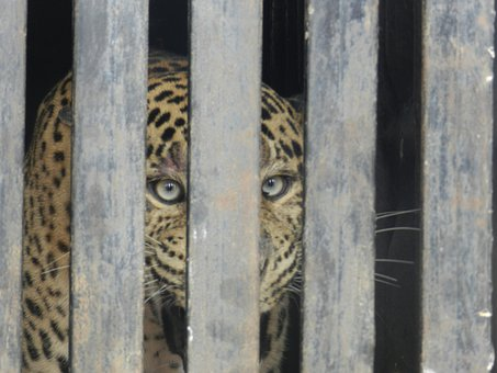 Leopard, Caged Leopard, Zoo, Cat, Wild, Cage, Feline