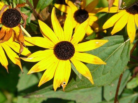 Coneflower, Ordinary Sonnenhut, Rudbeckia Fulgida