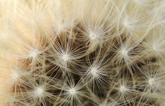 Dandelion, Plant, Boll, Seeds, Multiplication, Faded