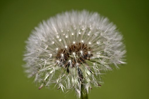 Dandelion, Flower, Boll, Dew Drops On Flower