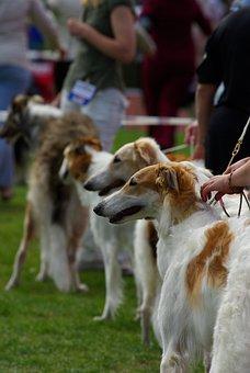 Dogs, Dog Show, Russian Wolfhound, Borzoi, Animal