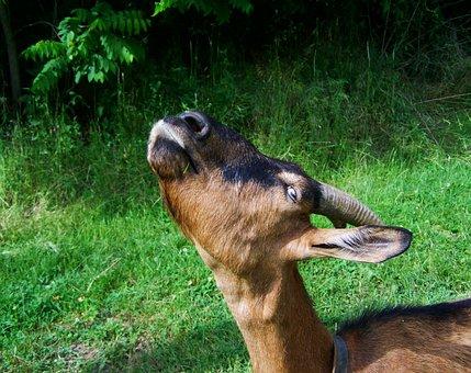Goat, Brown-black Goat, Farm Animals