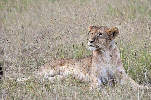 Animal, Big Cat, Carnivore, Grass, Grassland, Hunter