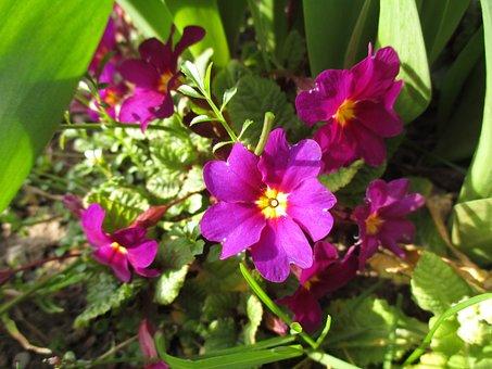 Primula, Prymule, Flowers, Spring, Green, Violet