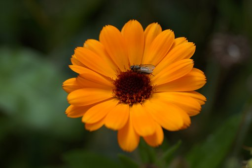 Fly, Flower, Blossom, Bloom, Fly On Flower, Insect