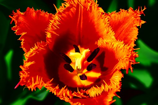 Tulip, Red, Jagged