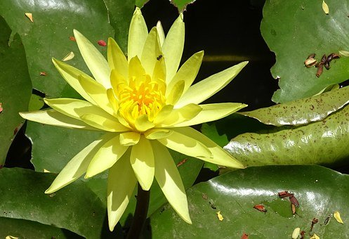 Lily, Flower, Yellow, Nymphaea Mexicana, Nymphaeaceae