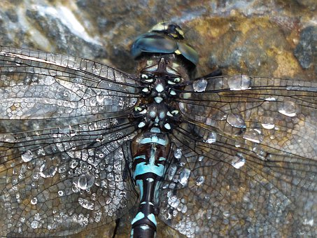 Dragonfly, Blue, Black, Brown, Macro, Head, Insect