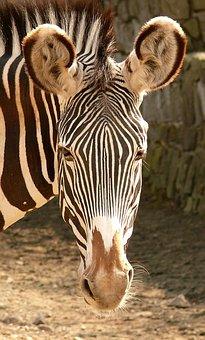 Zebra, Animal, Stripes, Zoo, Wild, Safari, Mammal