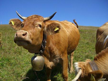 Cow, Cowboy, Bell, Clamp, Muh, Sky Blue, Feldberg