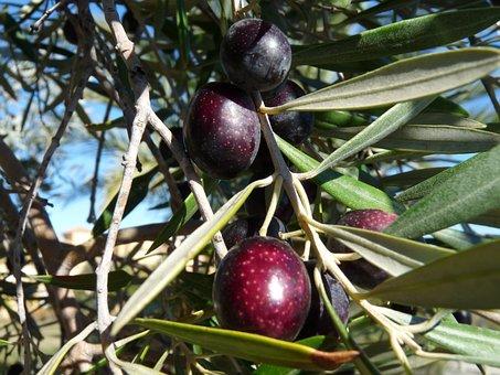 Tree, Fruit, Olive, Olivier, Nature, Orchard Leaves