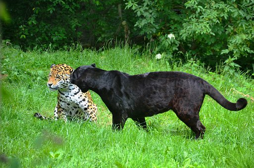 Panter, Leopard, Black, Spotted, Animals