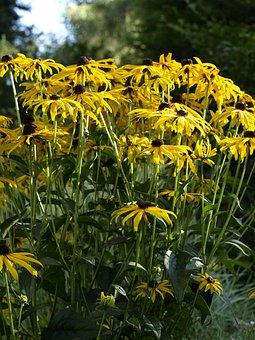 Coneflower, Yellow, Blossom, Bloom, Sunny, Summer