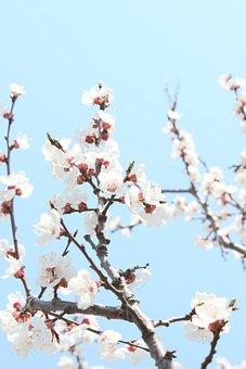 Cherry Blossom, The Year April, Port Arthur