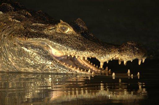 Crocodile, Venezuela, Llanos, Orinoco Crocodile, Animal